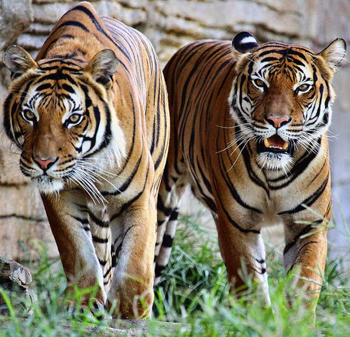 Two hungry tigers stalking their prey.